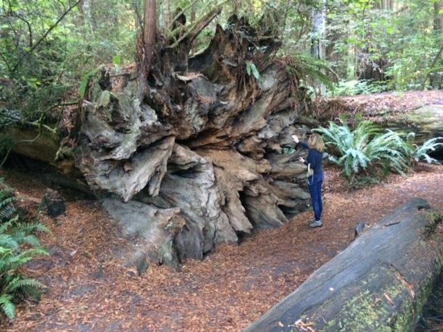 Roots of a Fallen Redwood Tree