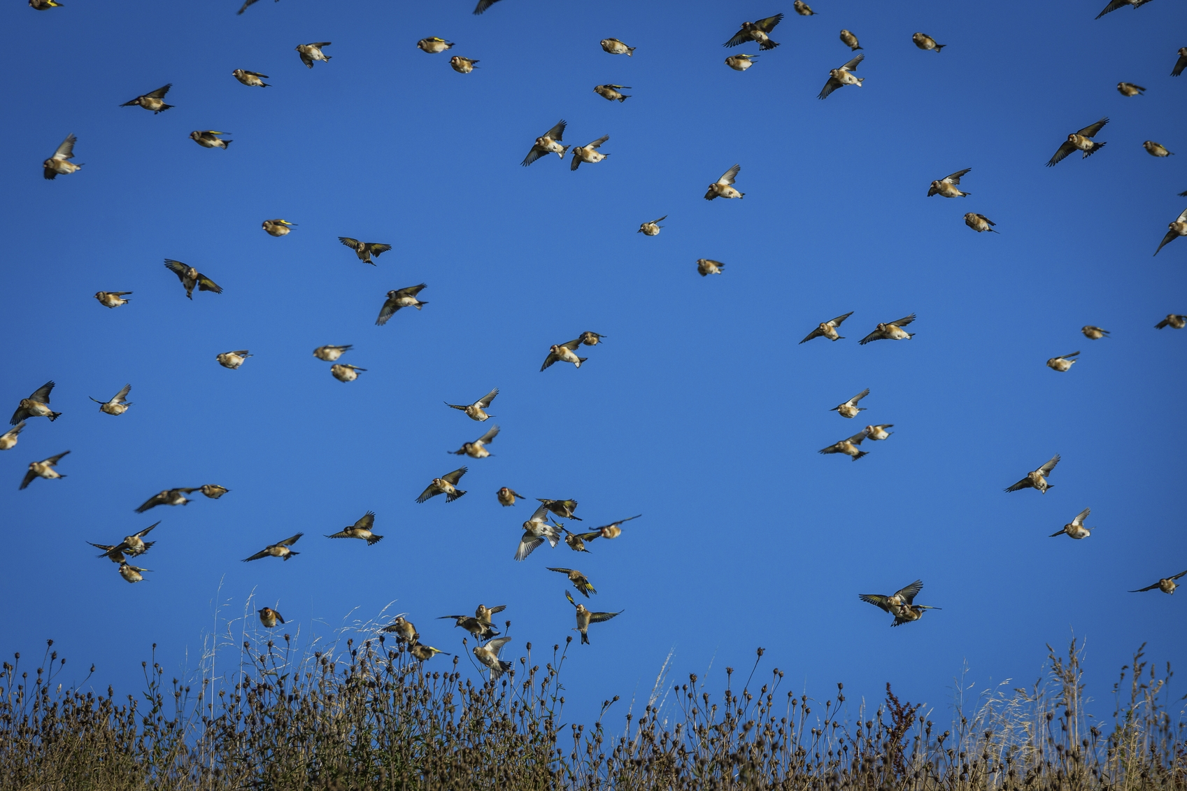 A flock of goldfinches in flight.