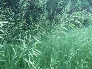 IMG_1033 grasses - Copy