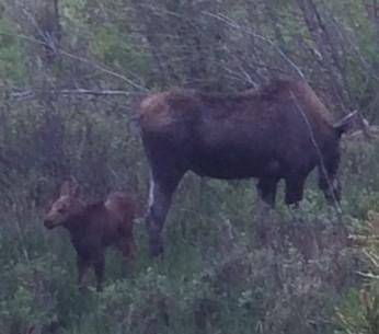 calf moose - Copy